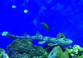 Discovery Place Bamboo Shark