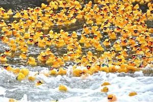 Kindermourn Ducks