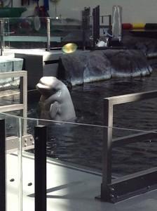 GA Aquarium Beluga Whales