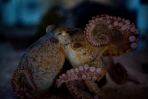 Octopus_stockimage
