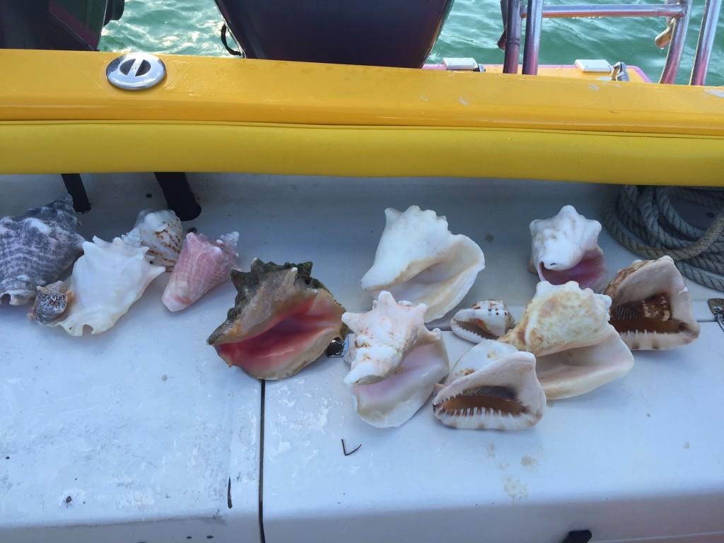 Caicos Conchs